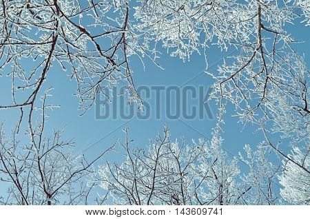 Winter frosty tree tops. Winter background - frosty branches of the winter trees against blue sky. Winter landscape with winter tree tops extending to the sky.