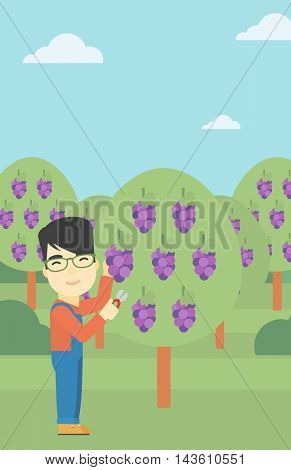 An asian farmer harvesting grapes in vineyard. Farmer collecting grapes. Young farmer working in vineyard. Vector flat design illustration. Vertical layout.