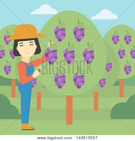 An asian female farmer harvesting grapes in vineyard. Farmer collecting grapes. Young farmer working in vineyard. Vector flat design illustration. Square layout.