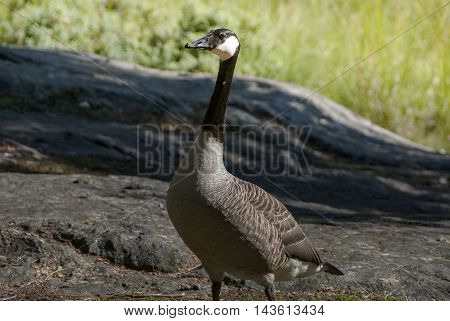 Single Canadian goose in summer, Swedish wildlife
