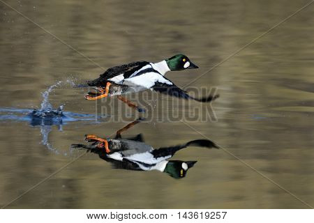 Running male Common goldeneye (Bucephala clangula) reflected in pond water surface. Moscow region Russia