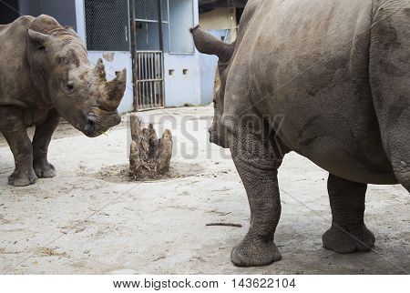 Fighting rhino, two rhino join a fight for food at a zoo