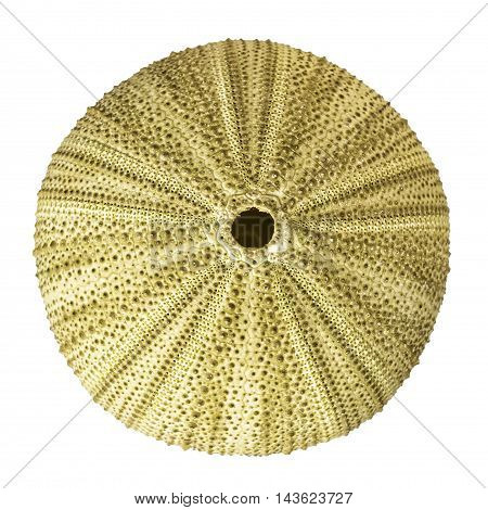 Sea Urchin Overhead View Isolated On White