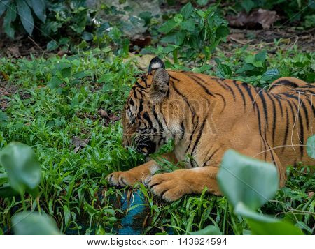 beautiful tiger in a background of grass