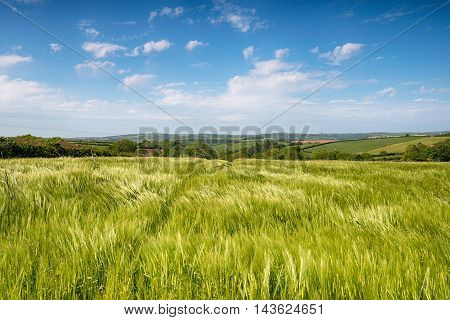 Summer Fields In Cornwall