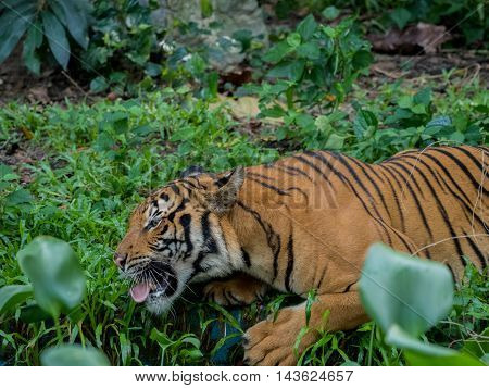 Tiger tries to reach something on a grass