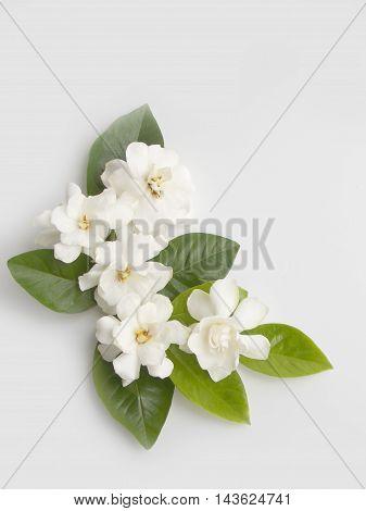 Beautiful white gardenia flower  bouquet on white background
