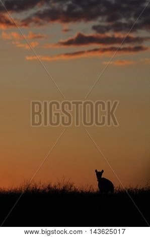 Wild Saiga antelope (Saiga tatarica) in morning steppe. Federal nature reserve Mekletinskii Kalmykia Russia August 2015