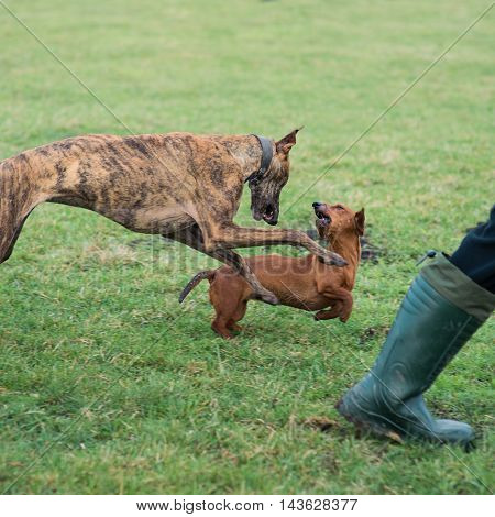 Dachshund In A Game With Greyhound