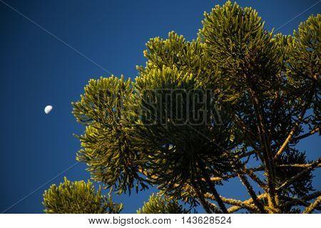 Closeup Of Upper Part Of Araucaria Angustifolia ( Brazilian Pine) With Sky Background, Campos Do Jor