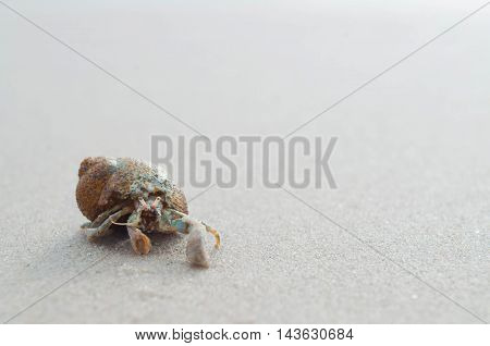 Hermit crab walking along beach with a sunlight