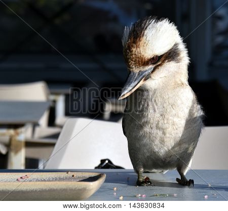 A friendly laughing kookaburra sitting on a table