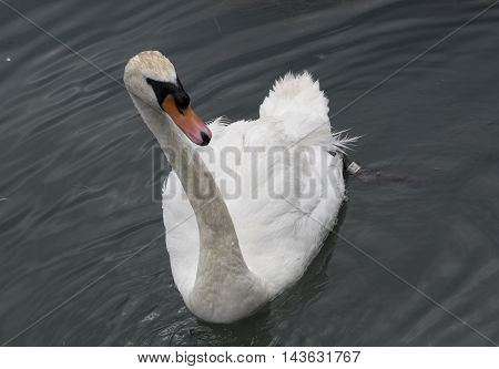 A lone white swan on a lake in autumn.
