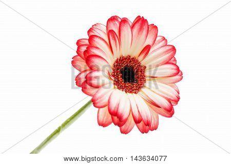 beautiful gerbera daisy, decoration on a white background