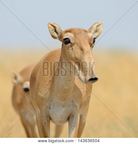 Critically endangered wild female Saiga antelope (Saiga tatarica) in morning steppe. Federal nature reserve Mekletinskii Kalmykia Russia August 2015