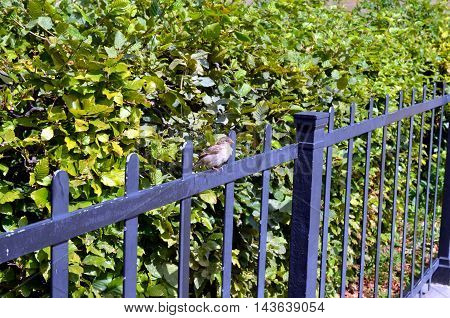 sparrow sitting on a metal fence with green bush background