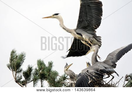 Grey Heron (Ardea cinerea) flying over the nest with chicks. National park Plesheevo Lake Yaroslavl region Russia