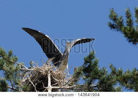 Two Grey Heron (Ardea cinerea) juvenile birds in the nest. National park Plesheevo Lake Yaroslavl region Russia