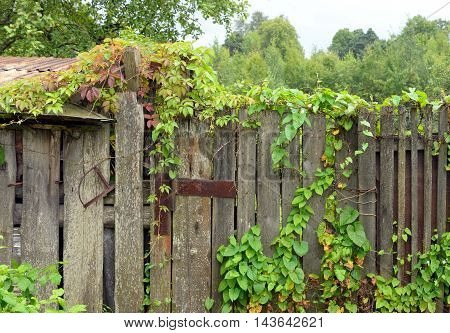 Old wooden fence with lush green leaves.