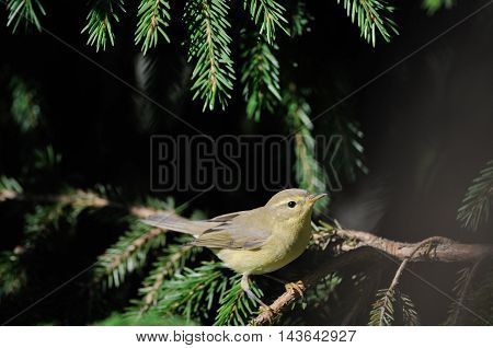 Perching Willow Warbler (Phylloscopus trochilus) at fir branch. Yaroslavl region Russia