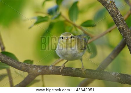 Perching Wood Warbler (Phylloscopus sibilatrix) at tree branch. Yaroslavl region Russia