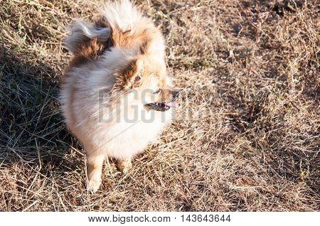 Dog Breeds Of Spitz