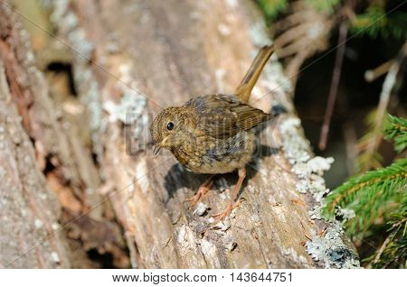 Juvenile European Robin (Erithacus rubecula) perching at tree trunk. Yaroslavl region Russia
