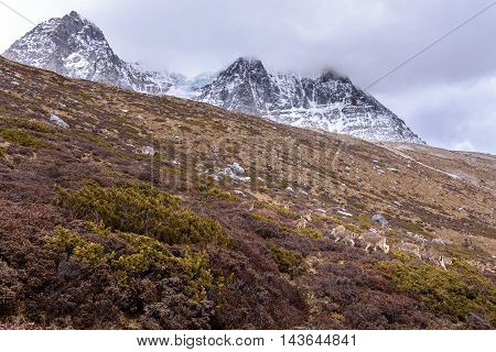 Deer eating grass on the snow mountains in Yading Nature Reserve.