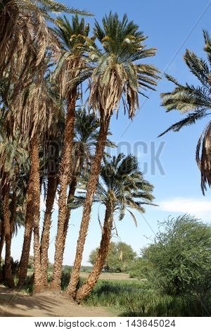 Palm trees on the Nile in Sudan