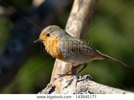 Perching European Robin (Erithacus rubecula) at tree branch. Moscow region Russia