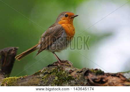 Perching European Robin (Erithacus rubecula) at tree trunk. Moscow region Russia