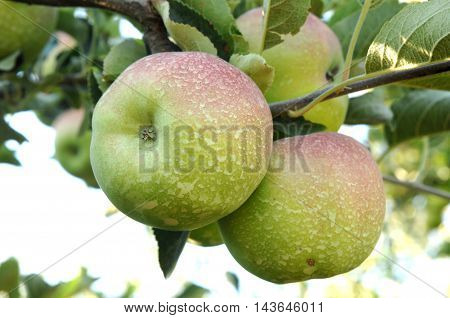 picture of a sprayed Apples in an orchard in the morning