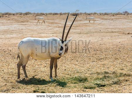 Antelope, Arabian oryx (Oryx leucoryx) in the nature reserve near Eilat, Israel