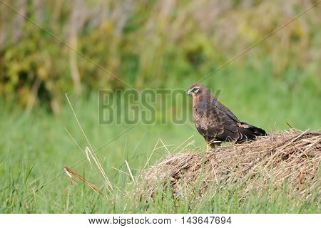 Perching juvenile Montagus harrier (Circus pygargus) at the meadow. Kaluga region Russia