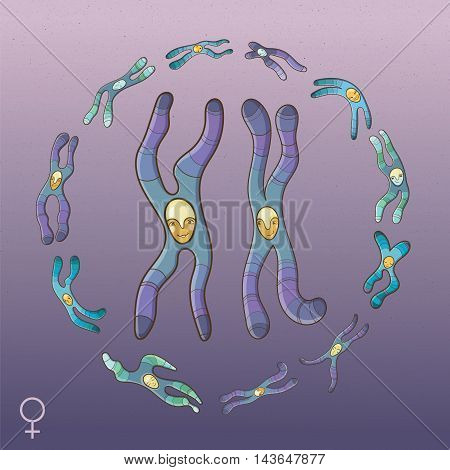 Female genotype. Vector cartoon illustration of X Chromosomes in the circle of other human chromosomes. Educational picture for school.