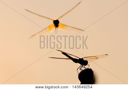 Flying and sitting dragonflies Vagrant darter (Sympetrum vulgatum). Kaluga region Russia