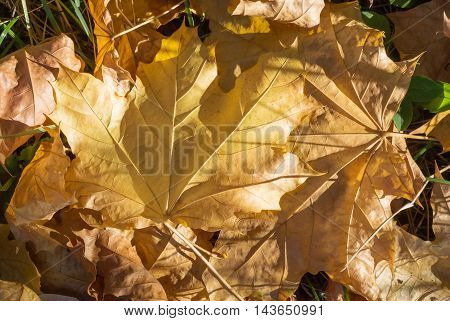 Yellow Dry Maple Leaves On The Ground