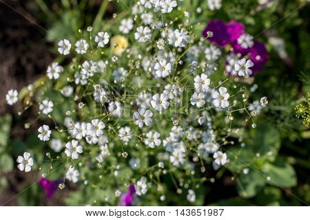 Small white flowers growing in the garden on a bed