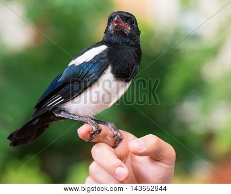 The close view of the bird - nestling of magpie on a man hand on green background.