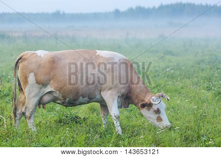 Brown cow grazing in the green foggy field.