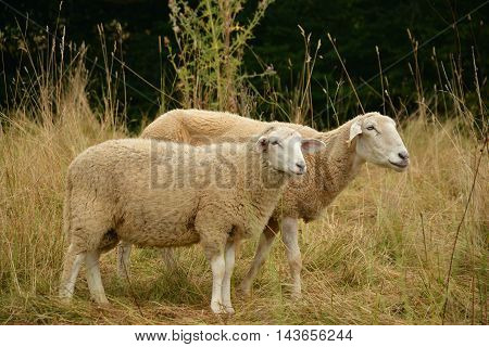 a beautiful picture with two sheep.