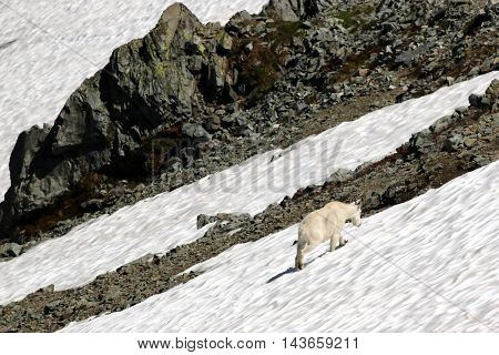 Mountain Goat in a Snow Field at Mount Rainier National Park