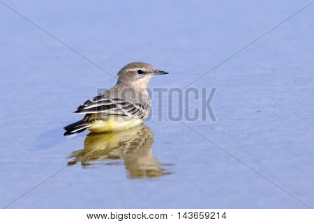 Yellow wagtail (Motacilla flava) reflected in water. Manych lake Kalmykia Russia.