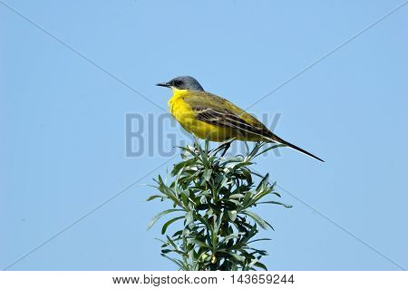 Perching female Yellow wagtail (Motacilla flava) at summer meadow. Near Moscow Russia