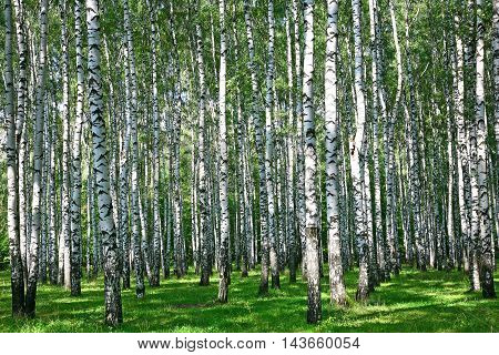 Beautiful summer birch grove in sunlight in August