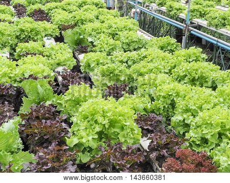 Organic lettuce lettuce at hydroponic farm, Food concept