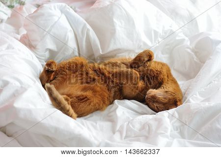 Purebred abyssinian cat lying on bed indoor
