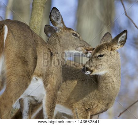 Beautiful background with a pair of the cute wild deers