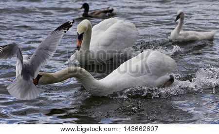 Amazing moment with a swan caught a gull