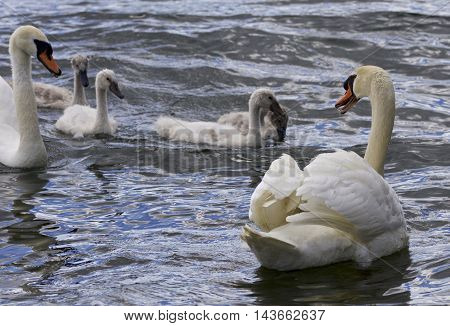 Beautiful background with the swans with the chicks